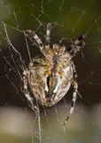 Vertical view - Close-up of Beautiful spider Royalty Free Stock Photo