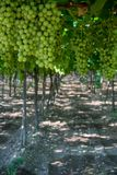Vertical View of Close Up of Leaves of Grapes in Plantation Gr royalty free stock images