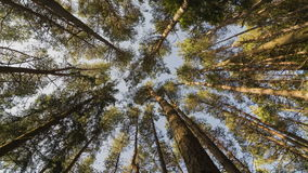 Vertical view of forest pine trees dancing in wind. Time lapse dolly shot. Timelapse video of forest with pine trees twinkle in the wind. Vertical dolly shot stock video