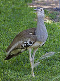 Vertical view of a Kori Bustard, Ardeotis kori Royalty Free Stock Images
