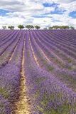 Vertical view of lavender field Stock Images