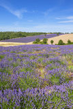 Vertical view of lavender and wheat field Royalty Free Stock Photography