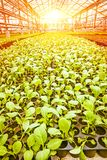 Vertical view little young plants of cabbage in greenhouse plant Royalty Free Stock Photos