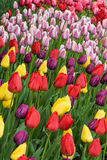 Vertical view of many different colored tulips on garden bed Royalty Free Stock Photos