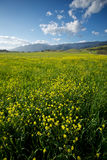 Vertical View of Mustard Field Stock Images