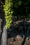 Vertical View of Close Up of Leaves of Grapes in Plantation Gr stock images