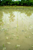 Vertical view of a rice paddy Royalty Free Stock Photo