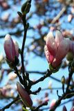 Vertical view of a Saucer Magnolia tree blossoms with blue sky Stock Photos