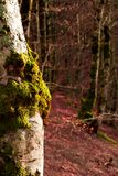 Vertical View of some Trees Covered in Moss in the Mountains. Vertical View of some Trees Covered in Moss on Blur Background in the Mountains Royalty Free Stock Photos