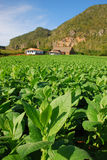 Vertical view of Tobacco plantation in Vinales, Cuba Stock Photography