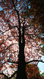 Vertical view of a tree with a dark brown trunk and bright leaves and sunshine through the branches Royalty Free Stock Photos