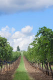 Vertical vineyeard row. A simple vineyard row of Oregon pinot noir. Perfect for a background with text and product insert Stock Image