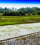 Vertical vivid rice diagonal plantation Stock Image