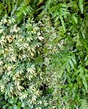 Vertical Wall of Schefflera Actinophylla, Ferns and Climbing Plants Royalty Free Stock Photos