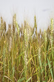 Vertical Wheat. Wheat plants in the field Royalty Free Stock Photos