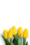 Vertical white Festive postcard with yellow  tulips Royalty Free Stock Images