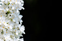Vertical white lilac on black Royalty Free Stock Photos