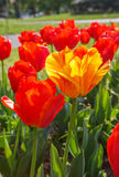 Vertical Yellow Tulip Surrounded by Red Flowers Royalty Free Stock Photos
