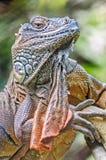 Vertical zamknięta up jaszczurka, iguana, iguany iguana, Obrazy Stock