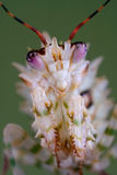 Verticale épineuse de mantis Images stock