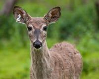 Verticale étiquetée de cerfs communs de Whitetail image libre de droits