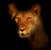 Verticale africaine de lion Photographie stock libre de droits