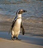 verticale africaine de pingouin Images libres de droits