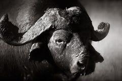 Verticale africaine de taureau de buffle Photos libres de droits