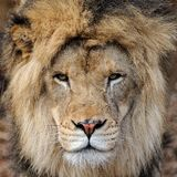 Verticale africaine mâle de lion Image stock