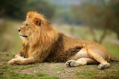 Verticale animale mâle sauvage de beau lion Photo stock