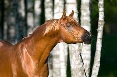 Verticale Arabe d'étalon de cheval de châtaigne photographie stock libre de droits