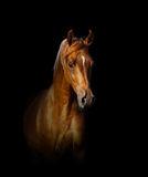 Verticale Arabe de cheval Photos libres de droits