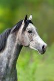 Verticale Arabe de cheval image stock