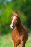 Verticale Arabe de cheval photographie stock libre de droits
