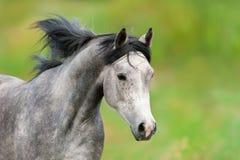 Verticale Arabe de cheval photo stock