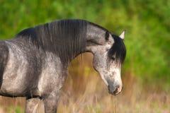 Verticale Arabe de cheval images libres de droits