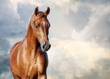 Verticale Arabe de cheval de châtaigne Images libres de droits