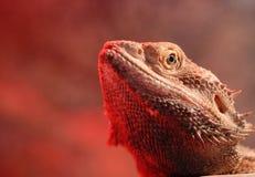Verticale barbue de dragon (Agaminae Pogona) images libres de droits