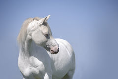 Verticale blanche de cheval de cremello sur le ciel bleu Photos libres de droits