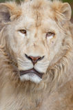 Verticale blanche de lion Photo libre de droits