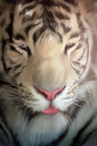 Verticale blanche de tigre Photo stock