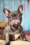 Verticale bleue de headshot de bouledogue français Photographie stock