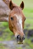 verticale brune de cheval Photographie stock