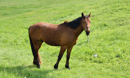 verticale brune de cheval Photos libres de droits