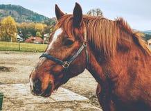 verticale brune de cheval Petit groupe de tête de cheval brune avec le licou image libre de droits