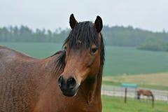 verticale brune de cheval image libre de droits