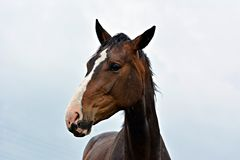 verticale brune de cheval photo stock