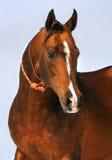 Verticale brune grisâtre de cheval d'akhalteke Image libre de droits