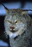 Verticale canadienne de lynx Image libre de droits
