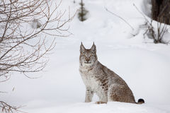 verticale canadienne de lynx Photo stock